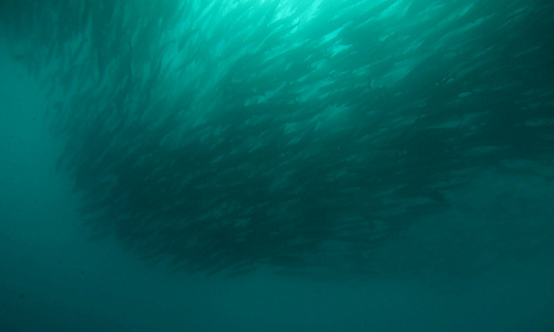 header - scuba - barracuda